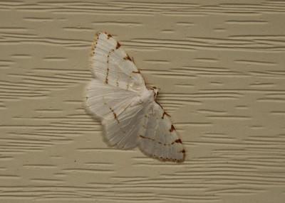 Spanworm Moth
