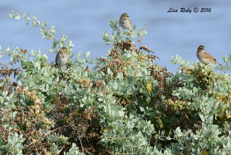 Savannah Sparrows  - 10/28/2016 - San Diego River Estuary
