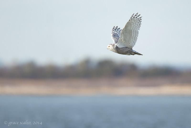 Snowy Owl scape_O8U0376-Edit.jpg