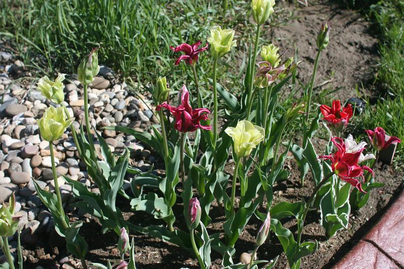 Tulips 2011 005.JPG