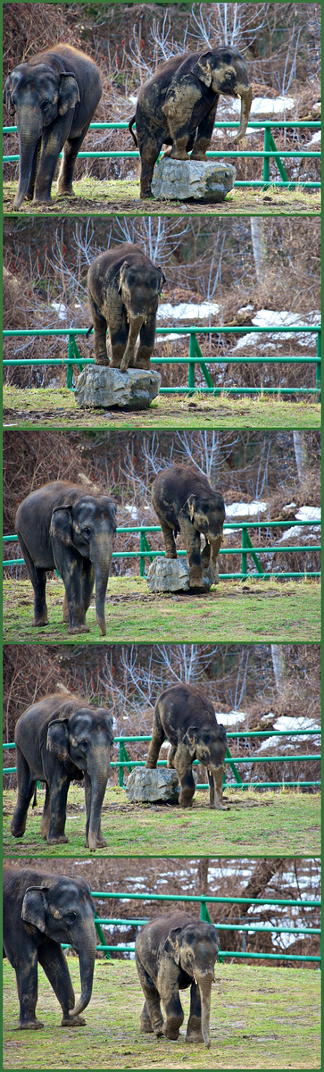 Elephants at the Rosamond Gifford Zoo in Syracuse, New York.