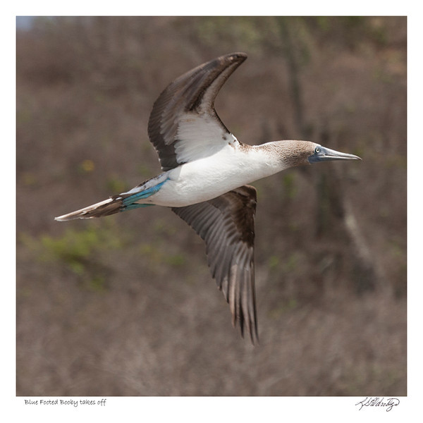 Blue Footed Booby takes off