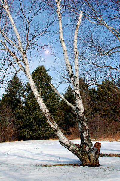 Currie Park Birch tree.jpg