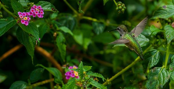Hummingbirds in Garden 7.27.14
