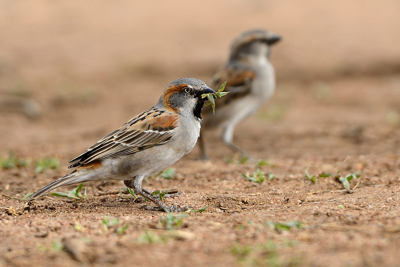 Rufous-Sparrows-Serengeti.jpg