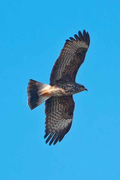 Kite - Snail - female - Lake Toho - Kissimmee, FL - 02