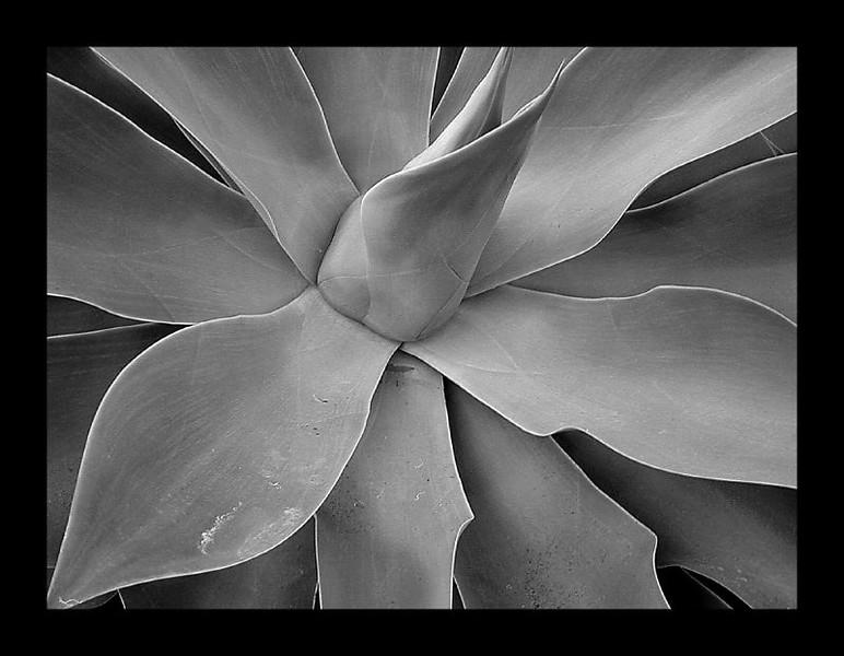 agave-2_110621625_o.jpg