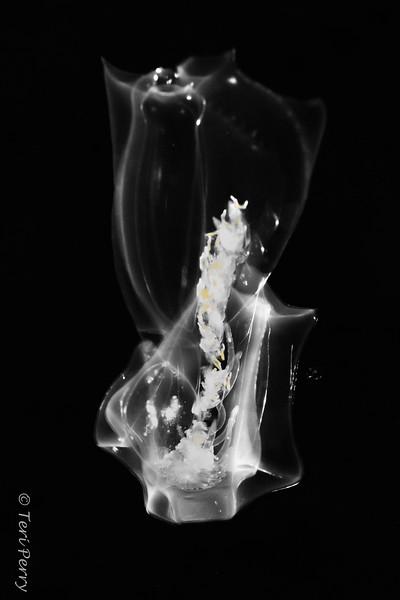 BLACKWATER - Jellyfish/salp - salp ? 0447-.jpg