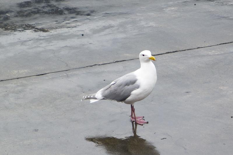 Anacortes, WA Seagull