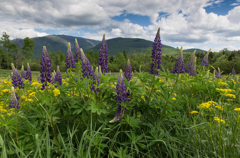 Field of Lupine 773