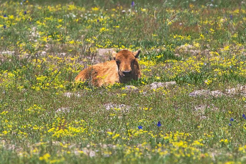Bison Calf 0709.jpg