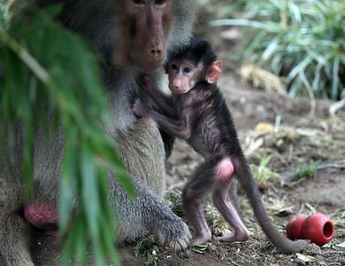 Oakland Zoo's new baby baboon Kodee