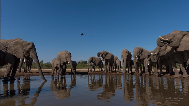 African Elephant, Mashatu GR, Botswana, May 2017-37.jpg