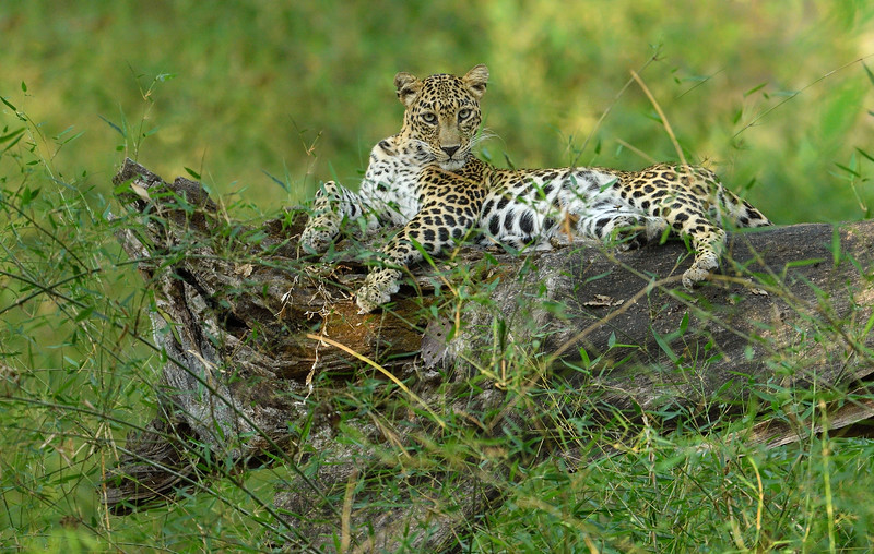 Leopard-Bhadra-on-her-throne-1.jpg