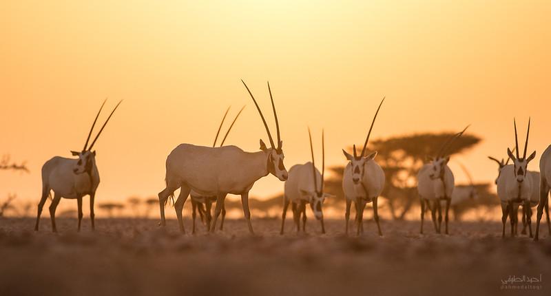 Arabian Oryx (9).jpg
