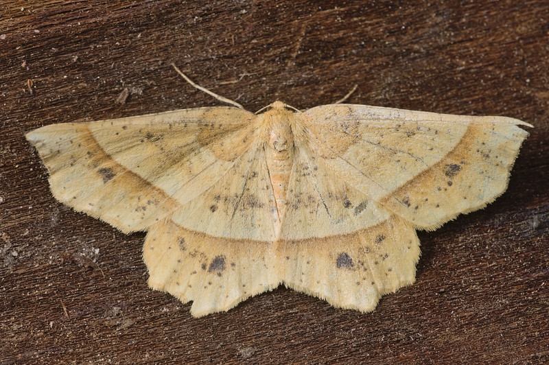 Mottled Euchlaena Moth