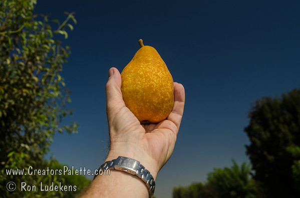 Surecrop Pear (Pyrus communis sp.)