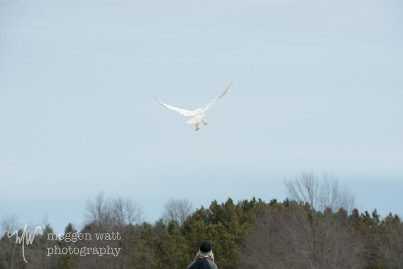 wings of wonder snowy owl release march 4-5644.jpg