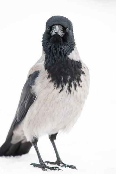 Crow , Kråka