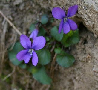 Viola XXXX