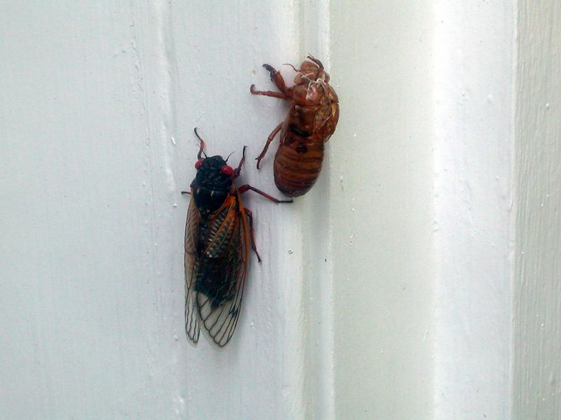 A cicada has just shed his shell on the front door frame.