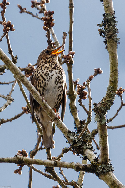 Song Thrush doing what Song Thrushes do