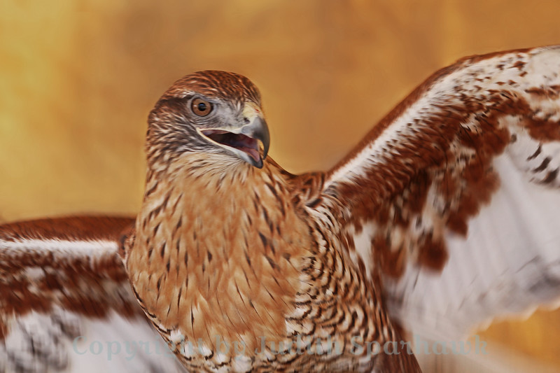 Portrait of a Ferruginous Hawk