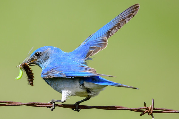 6-11-18 Mountain Blue Bird - Male Feeding