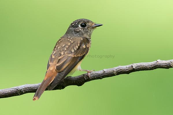 Flycatchers (4 Species)