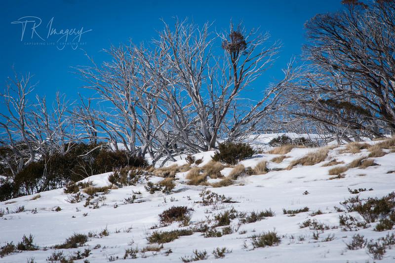 Snow tree 4-0146.jpg