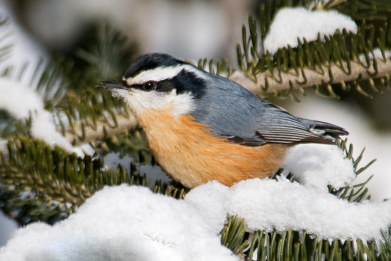 Nuthatch - Red-breasted - male - Arrowhead Trail - Cook County, MN - 01