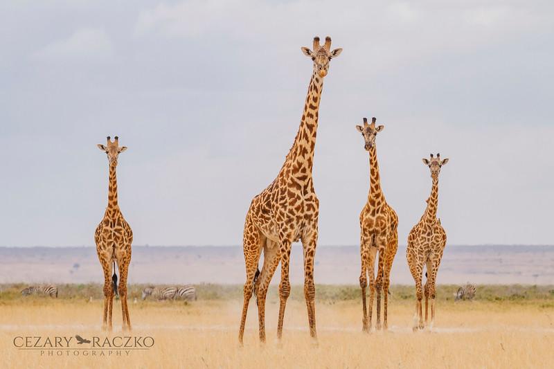 Giraffes (Giraffa camelopardalis)