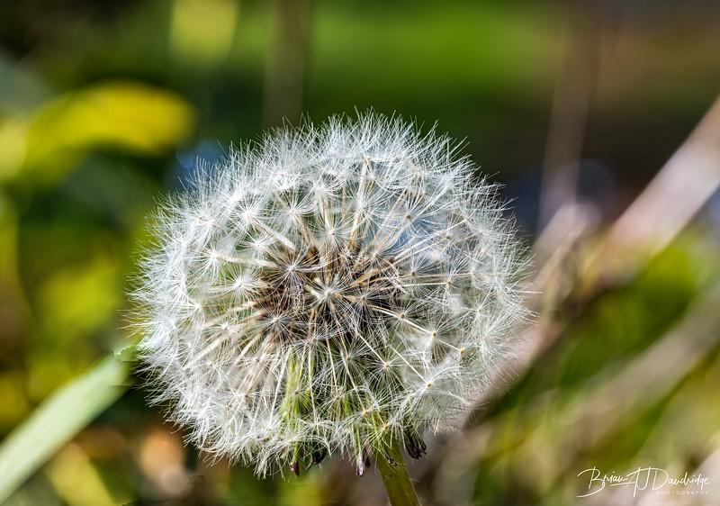 Dandelion_Seedhead.jpg