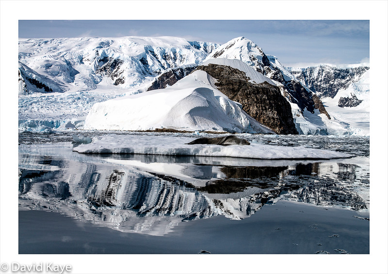 Wilhelmina Bay : Reflections, with resting Leopard seal.