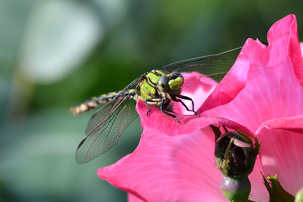 Dragonflies and Mayflies