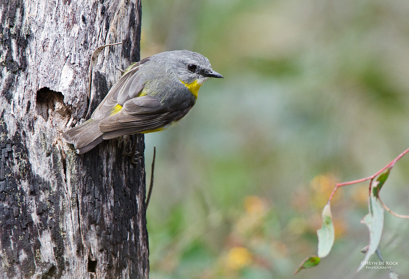Eastern Yellow-robin, Girraween NP, Qld, Aus.jpg