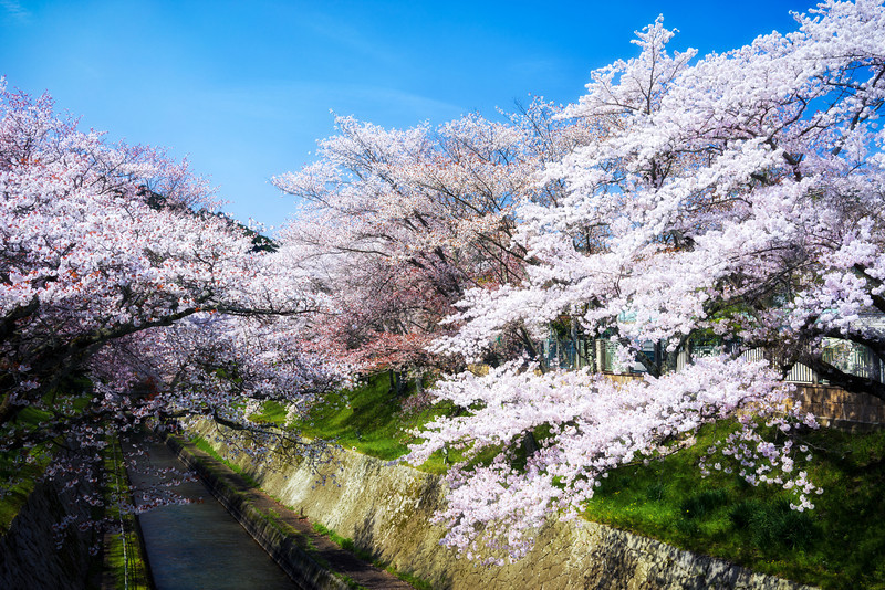 Cherry Blossom Trees Mii Temple