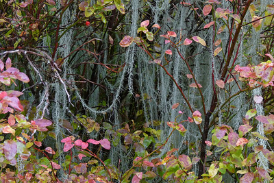 DAY 272 - September 29, 2011 - Spanish Moss (Old Man's Beard) and Red Huckleberry Cynthia Meyer, Tenakee Springs, Alaska