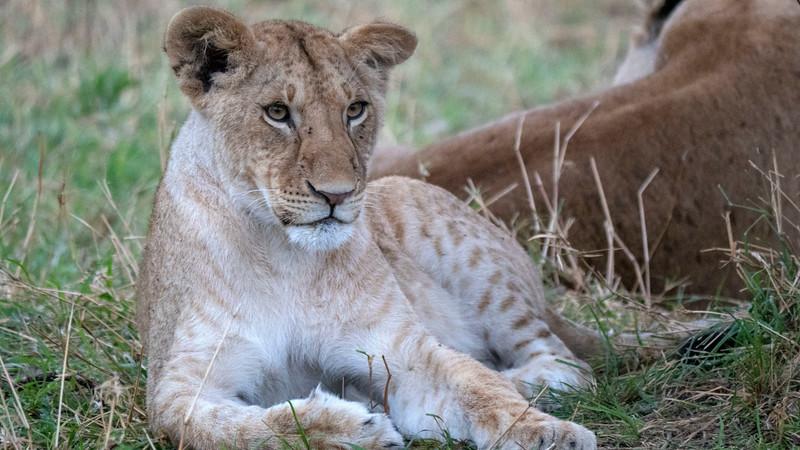 Tanzania-Serengeti-National-Park-Safari-Lion-13.jpg