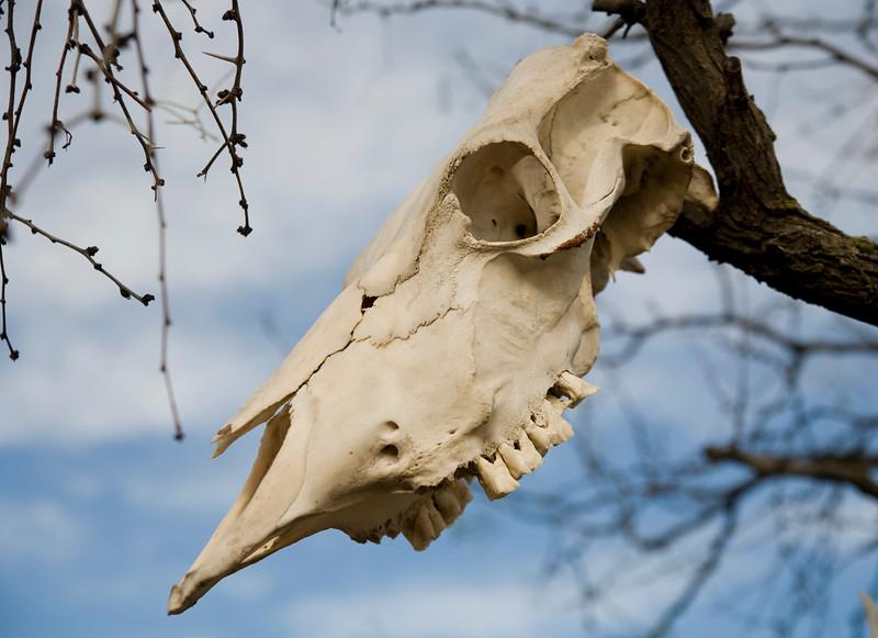 2007-12-03 skull in tree ozona 3141.jpg