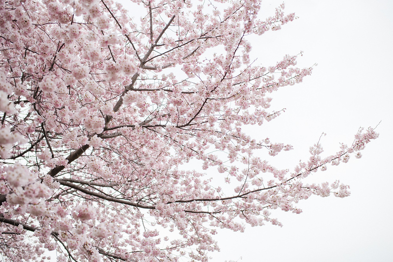 Cherry Blossoms (19 of 182).jpg