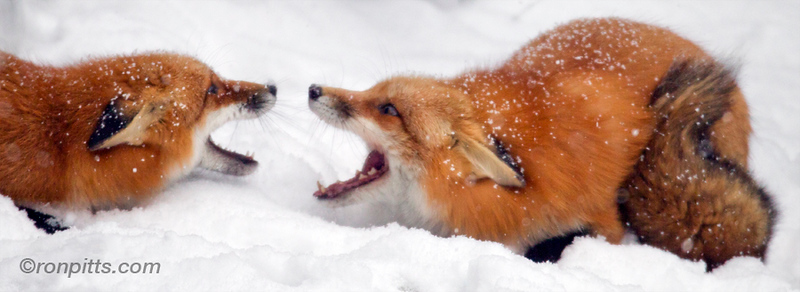 sm2 face off foxes.jpg