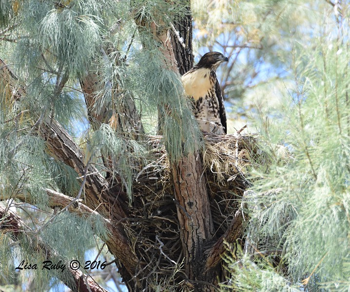 Red-tailed Hawk  - 5/26/2016 - Tamarisk Grove Campground