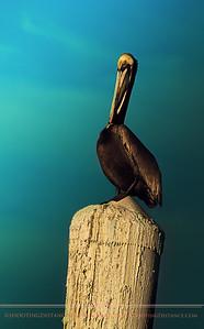 Brown Pelican in Breeding Plumage, Roosting in La Paz