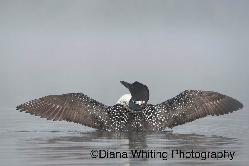 Adult Loon Flushing