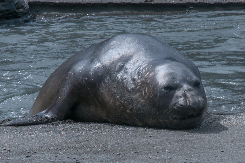 Elephant seal in Moltke Harbor, South Georgia Island