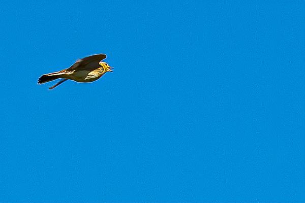 Skylark Ascending 2284--2.jpg