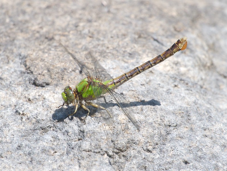 Female Rusty Snaketail (Ophiogomphus rupinsulensis) with eggs [July 14; Moosehorn River, Moose Lake, Carlton County, Minnesota]