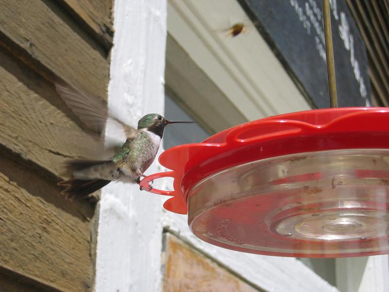 Hummingbird of St Elmo