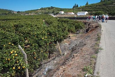 Orange groves, Silves, Algarve